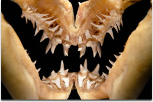 shark-teeth